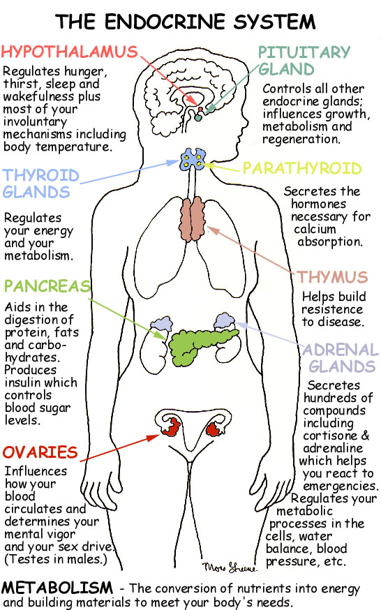 Endocrine system diagram for understanding hormones from endocrine system diagram for understanding hormones ccuart Choice Image