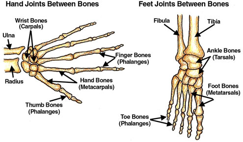 Joints Of The Foot Yelomphonecompany